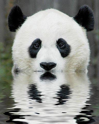 animal-picture-panda-bear-ucumari-animalpicture.jpg (JPEG Image, 480×600 pixels)