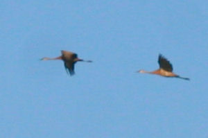 more a record shot than a great pic, but they're Sandhill Cranes!