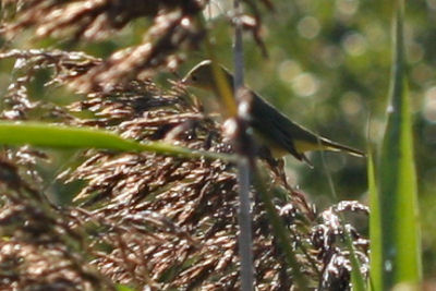 first fall Mourning Warbler
