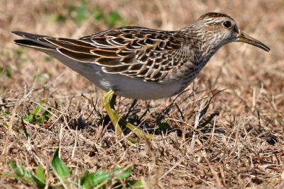 Pectoral Sandpiper after swallowing a grub