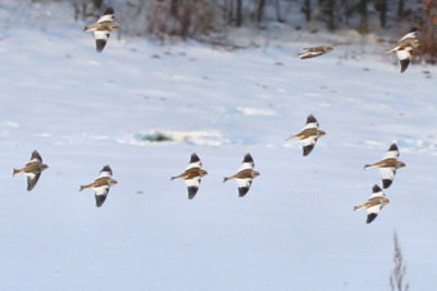 Snow Buntings on the Catskill-Coxsackie CBC