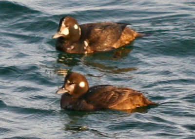 Harlequin Ducks at Point Lookout