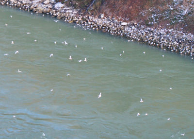 little tiny gulls in the Niagara Gorge