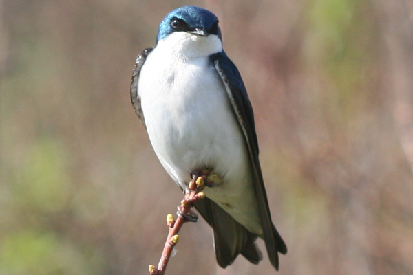 perched Tree Swallow at Jamica Bay, Queens, NY