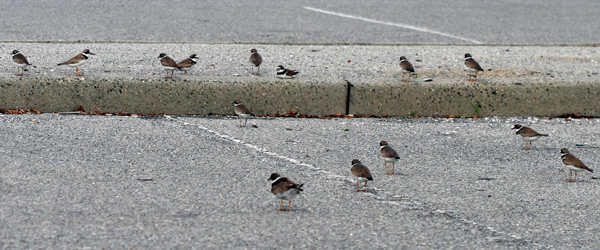 Semipalmated Plovers in parking lot