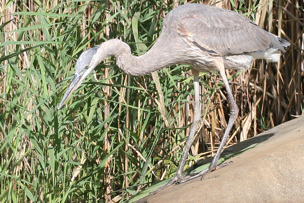Great Blue Heron in Queens