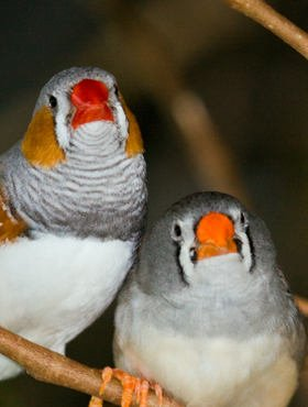 Zebra Finches (photo from Wikpedia)