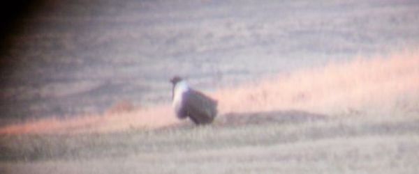Sage Grouse with no tail