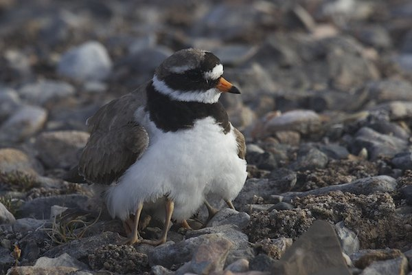 Common Ringed Plover and chicks