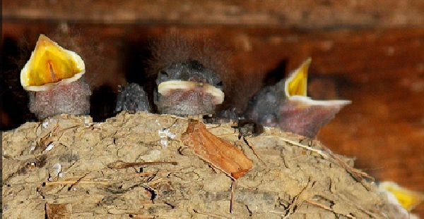 Young barn swallows