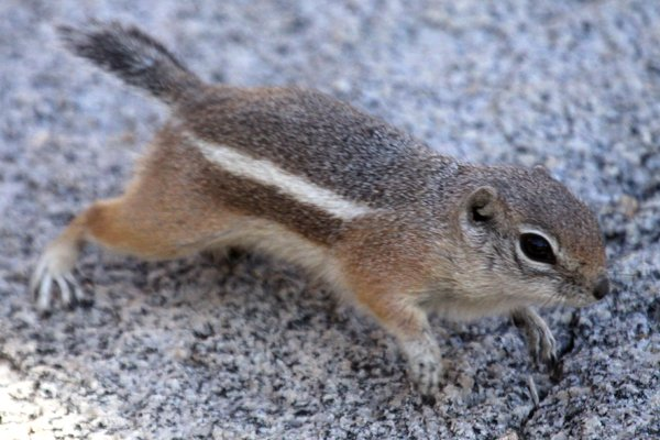 White-tailed Antelope Squirrel running across a rock