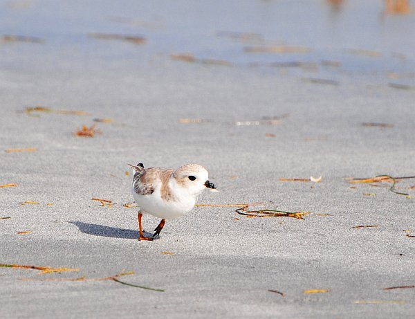 Piping Plover_1Jan2013