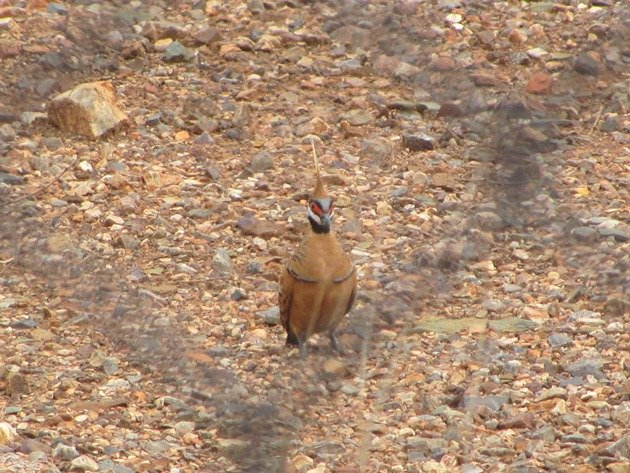 Spinifex Pigeon-race ferruginea (6)