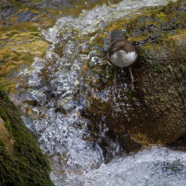 White-throated Dipper in perfect habitat by Francois Portmann