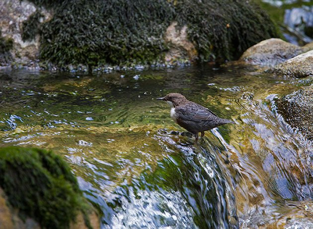 White-throated Dipper (Cinclus cinclus) by Francois Portmann