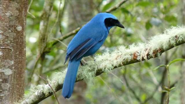 Turquoise Jay, photo by Scott Winton