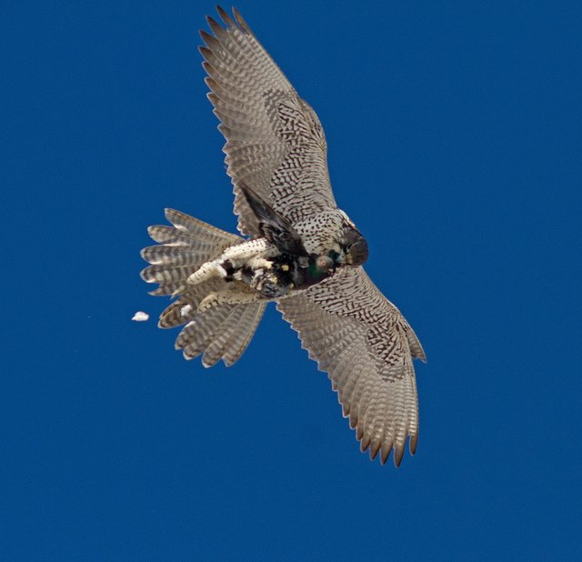 Gyrfalcon, photo by Don Delaney