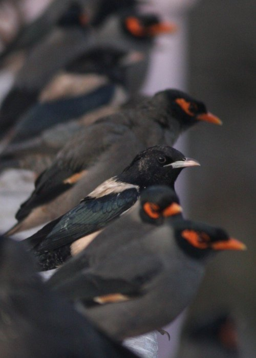 Rosy Starling, Bank Mynah - Ahmedebad, India