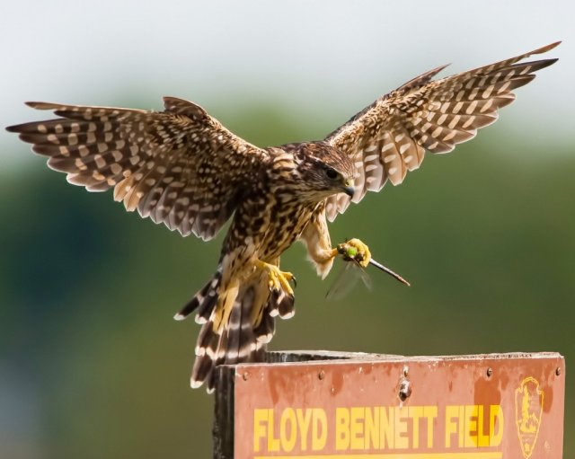 Merlin-with-dragonfly