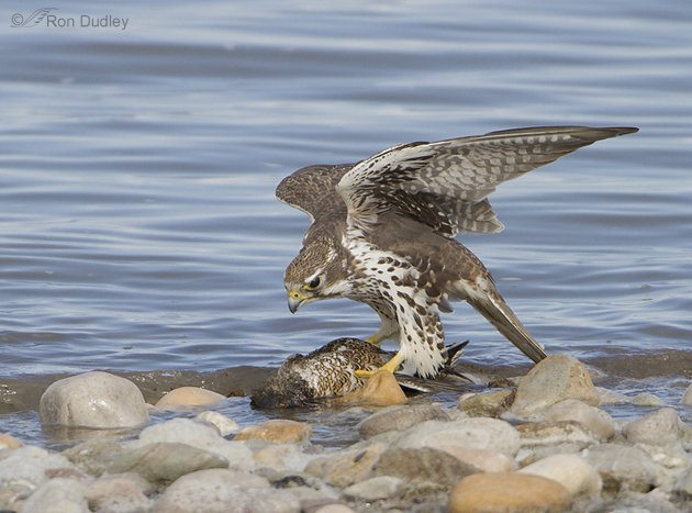Prairie Falcon eating a Northern Shoveler by Ron Dudley