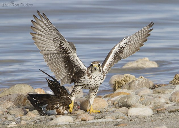 Prairie Falcon on a dead Northern Shoveler by Ron Dudley
