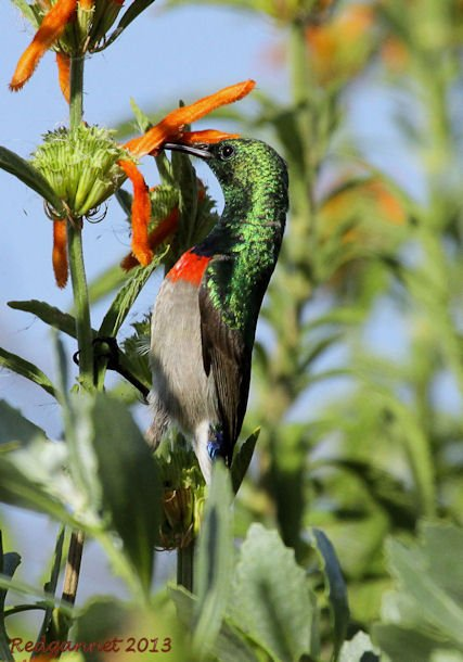 CPT 22Mar13 Southern Double-collared Sunbird 04