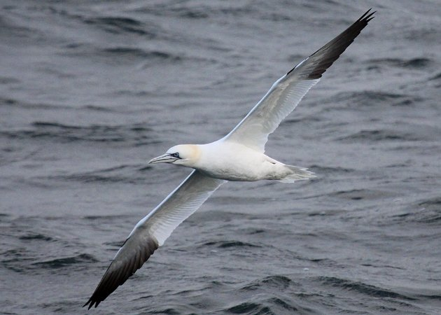 Northern Gannet in the North Atlantic