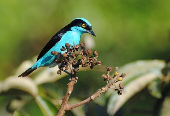 Black-faced Dacnis