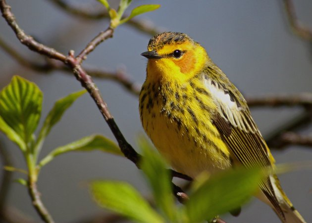 Cape May Warbler 4