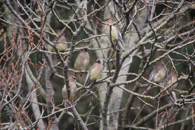 Cedar Waxwings on bare branches