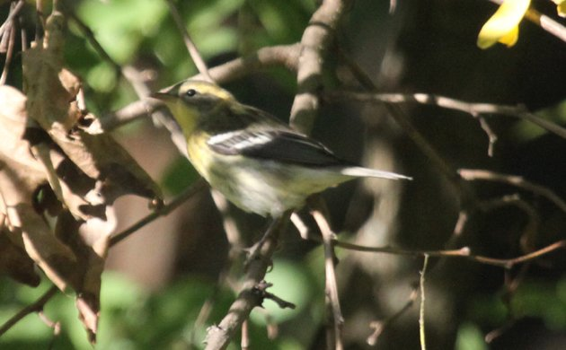 Diabolical Wood-Warbler Quiz Picture 1 Answer