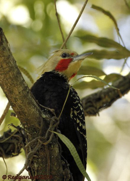 GRU 13May14 Blonde-crested Woodpecker 01