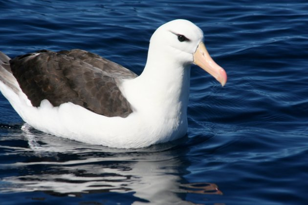 Black-browed Albatross by Duncan Wright
