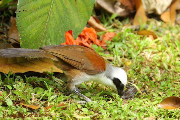SIN 09May13 White-crested Laughing Thrush 19