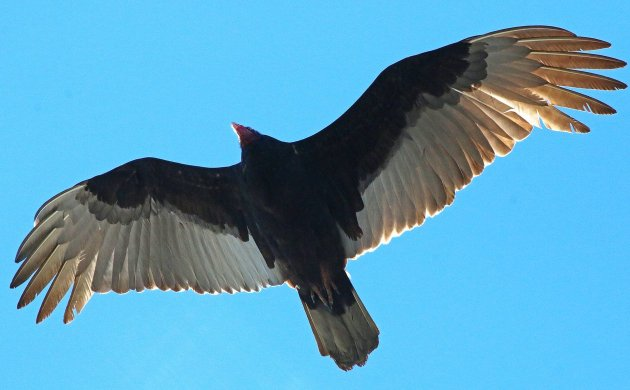 Sandy Hook Turkey Vulture
