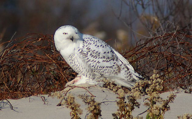 Snowy Owl feature