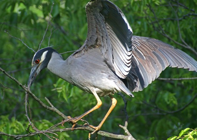 Yellow-crowned Night-Heron struggling with a stick