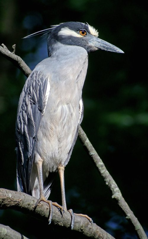 Yellow-crowned Night-Heron vertical