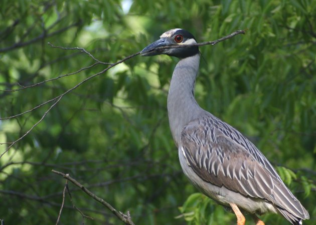Yellow-crowned Night-Heron with stick for its nest