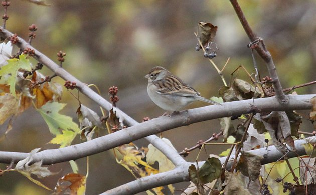 drab Chipping Sparrow