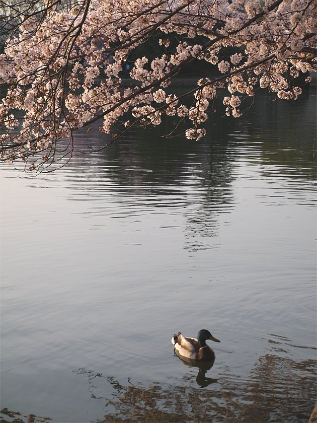 Mallard amidst the blossoms