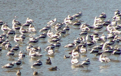 Sea of avocets