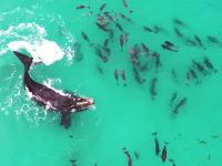 大きなクジラを相手に遊ぶイルカの群れをドローン空撮。オーストラリア。