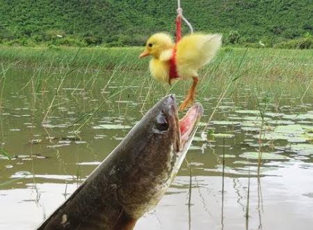 生きたアヒルを囮にしてスネークヘッドを釣り上げる男の映像。