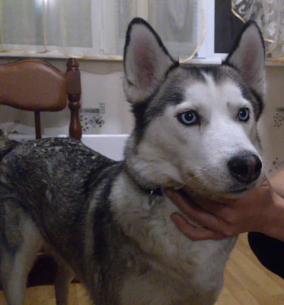 Pretentious Choosing Name Siberian Husky Is Dog That Was Bred Long What Do We Have Criteria Russia Girl Husky Pulling Heavy Sleds Tips Far North bark post Female Husky Names
