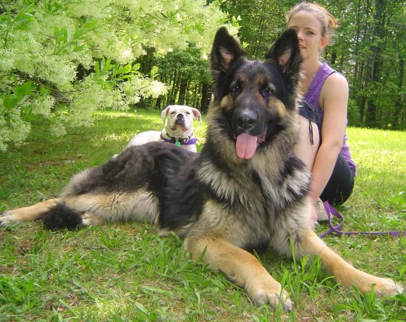 Large Of German Shepherd Shedding