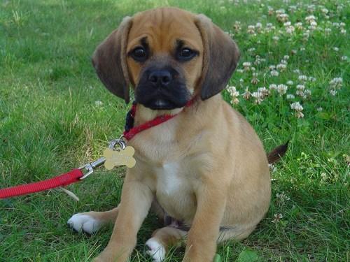 Medium Of Boston Terrier Pug Mix