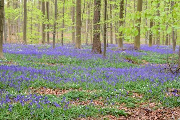 Bois de Hal becomes a mystic place by the end of April when thousands of bloom bluebells create a blue flower carpet in the forest.