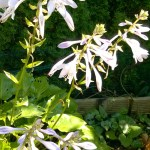 Hosta Netzwerk Blüten