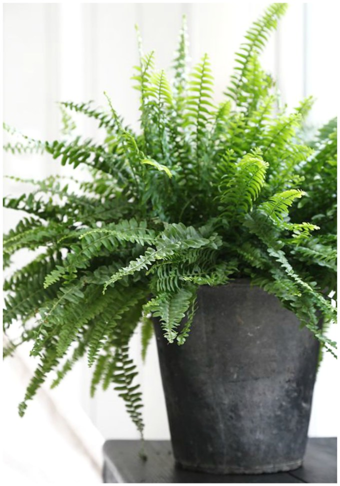 boston.fern